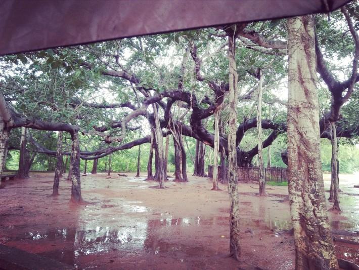 Auroville - Banyon Tree