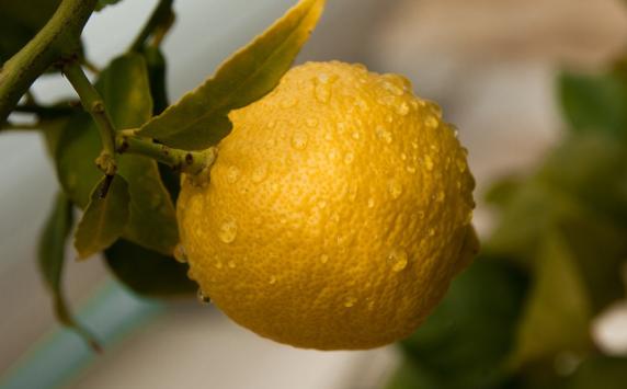An image of fresh lemon fruit