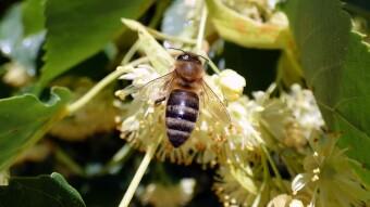 Linden blossom - food for bees, medicine for humans