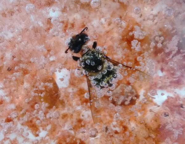 Bee frozen in birdbath