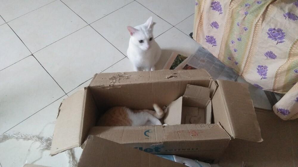 cat, white, mochu