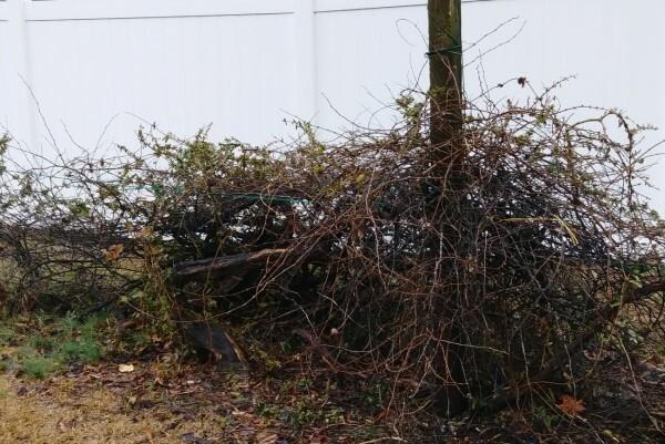 Overgrown grape vine in the winter