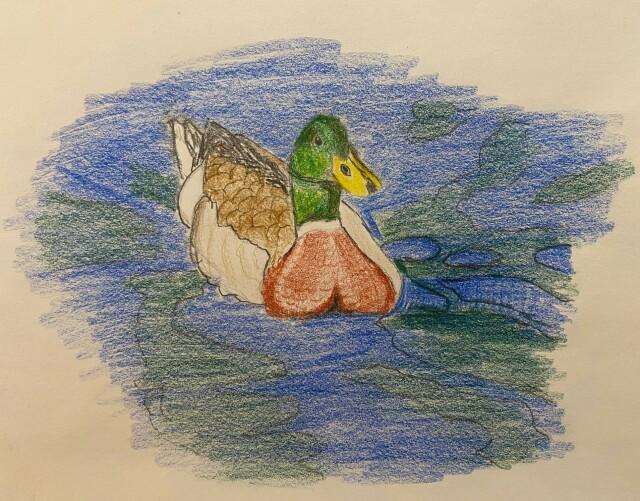 Mallard - colored pencil drawing