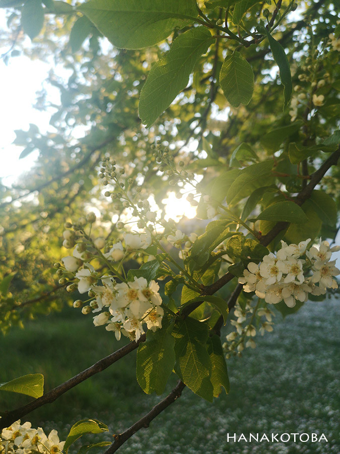 apple tree with white flowers blooming