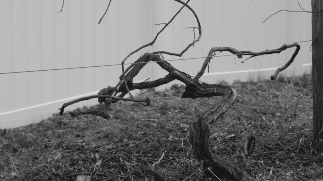 Trimmed grape vine in black and white