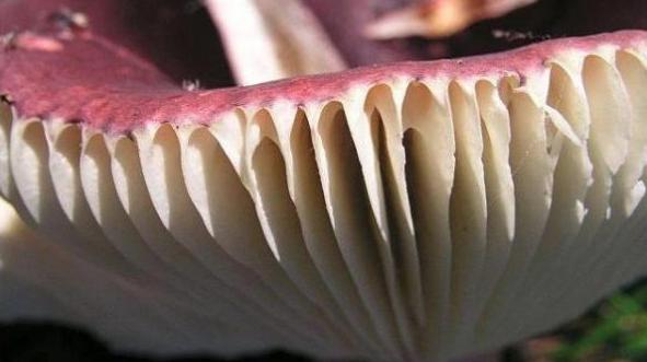 Mushrooms occurring in Europe - Russula queletti