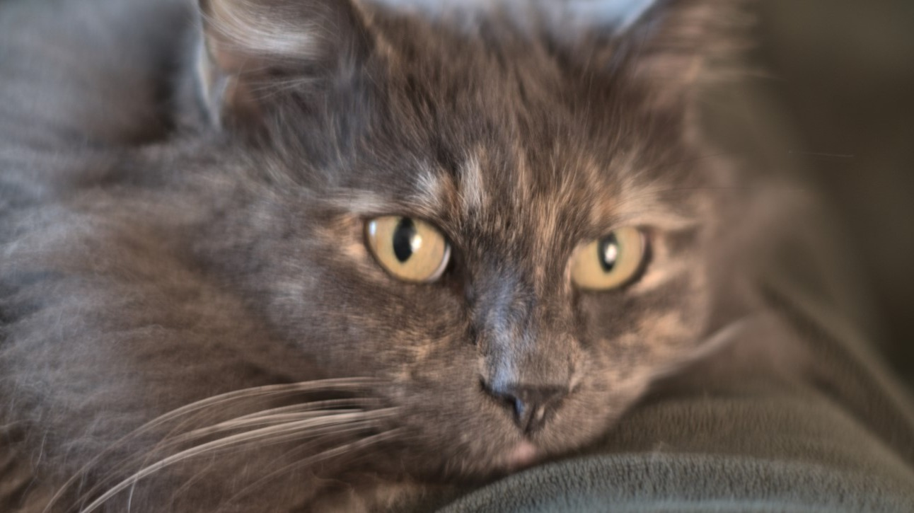 Closeup portrait of dilute calico cat