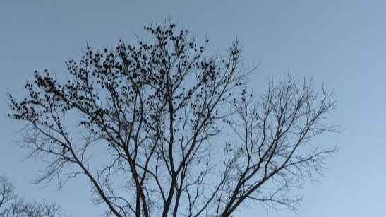 A flock of birds sit on a leafless tree. A blue sky is the backdrop.
