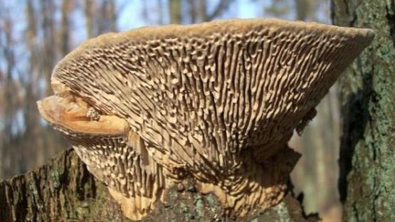 Mushrooms occurring in Europe - Daedalea quercina