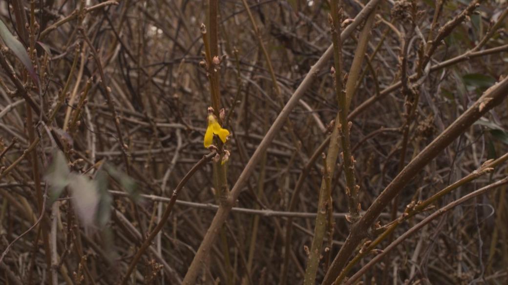 Single forsythia bloom